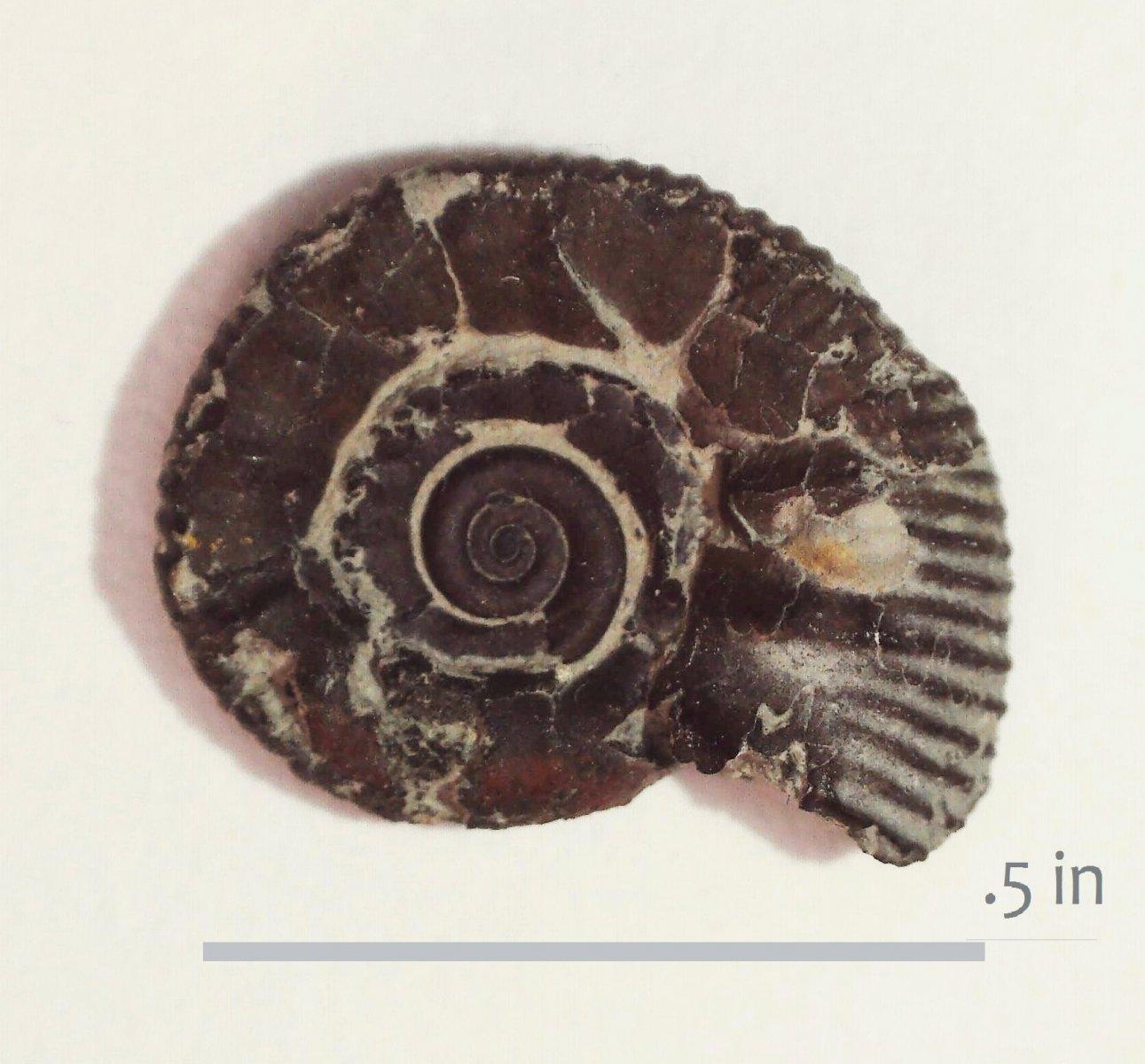 Ammonite Otoscaphites subevolutus Waco Del RIo