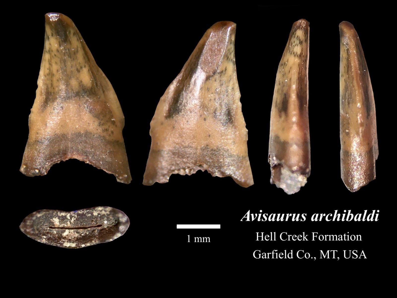 Avisaurus archibaldi