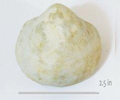 Protocardia texana HH Walnut
