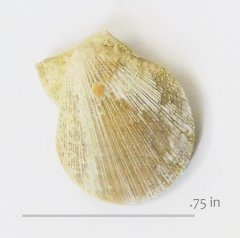 Chlamys santoni