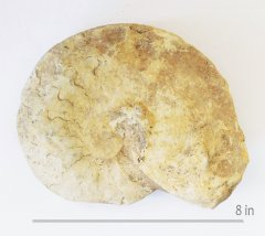 Ammonite unknown