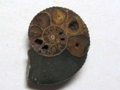 Hoploscaphites (Jeletzkytes) nebraskensis