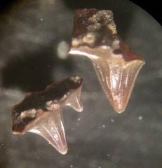 Hybodus sp.