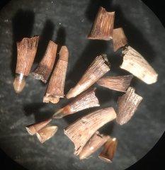 Lepisosteidae
