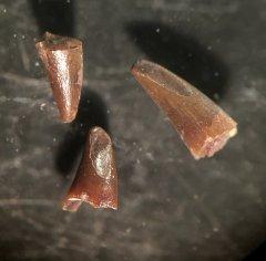 Sarcopterygian fish teeth