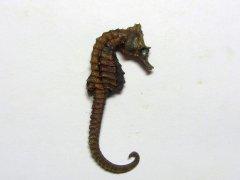 Hippocampus hippocampus (Linnaeus 1758)
