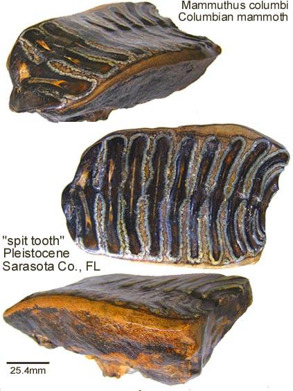 mammoth spit tooth.jpg