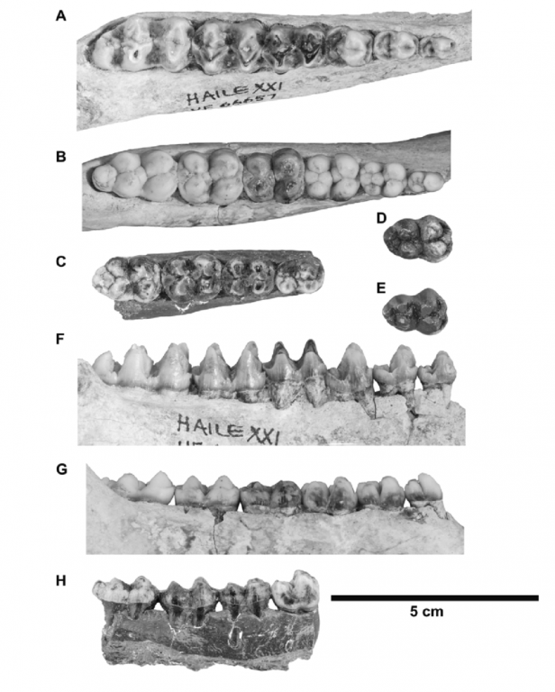 270646968_Tayassuid-dentaries-and-lower-teeth-from-the-Pleistocene-of-Florida-A-right-dentary(1).thumb.png.ebac363ad20d3f75b8fcd615ca5e812a.png