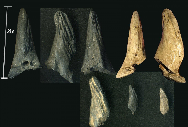 Billfish_Aglyptorhynchus_Oligocene_ChandlerBridge_SC_02.thumb.jpg.7a1700b5a9b90e90c8f2ecf560509218.jpg