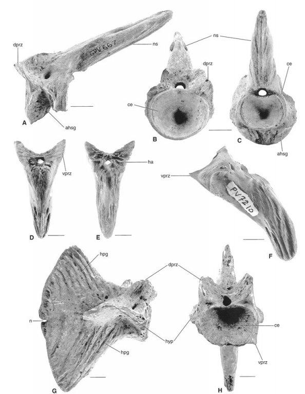 HaemalSpine_Billfish_Aglyptorhynchus_Oligocene_ChandlerBridge_001.thumb.jpg.3cf5b28e286e50510e350537242f2105.jpg