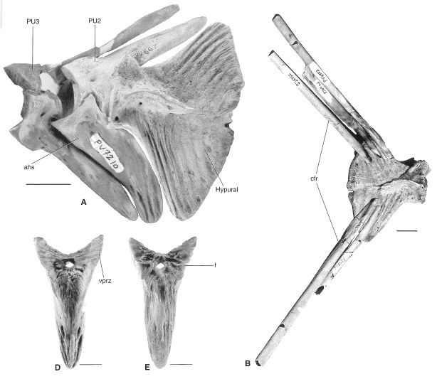 HaemalSpine_Billfish_Aglyptorhynchus_Oligocene_ChandlerBridge_002.jpg.e37205d39fc49108e91bbcff73271b2a.jpg