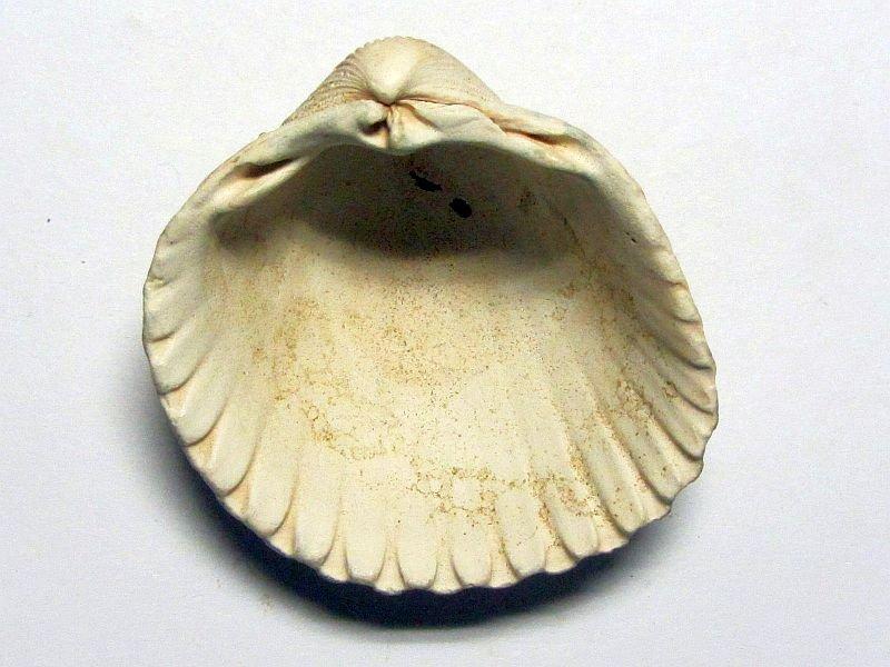 Acanthocardia tuberculata (Linnaeus 1758)