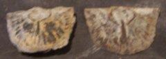 Brachiopods of Platteville/Decorah Twin Cities Minnesota