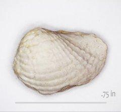 Pholdomya sanctisaba Walnut