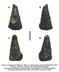 Caturus megadontus (?=Osteorachis leedsi)