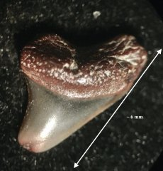 Cretoxyrhina symphyseal (2)