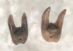 Barbclabornia leuderensis (2)