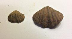 Spiriferid Brachiopods from Glenerie