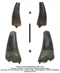 Pachycormidae indet. - 'Hypsocormus' sp.
