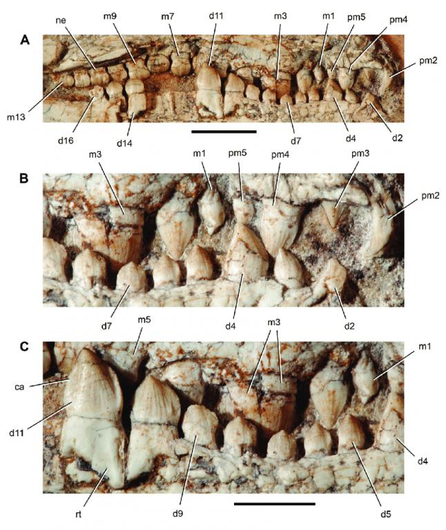 Unworn-dentition-of-the-crocodyliform-Araripesuchus-wegeneri01.thumb.png.c77809fb37e864aaf00cb80d2e9d4b69.png