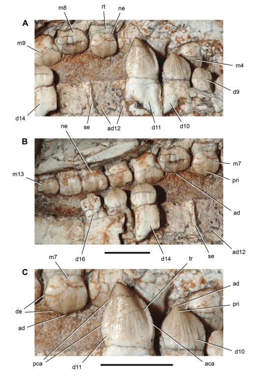 Unworn-dentition-of-the-crocodyliform-Araripesuchus-wegeneri02.thumb.png.c3120d21627b1b847cbd311492a94e03.png