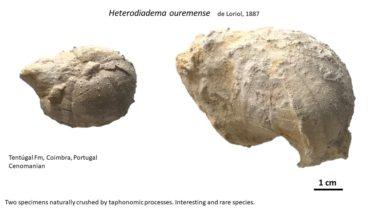 heterodiadema_ouremense.jpg.a541ad7b67c89a94a1a33b889807c33b.jpg