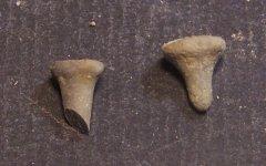 Nortonechinus primus
