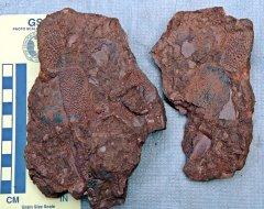 Holoptychius sp. Scales