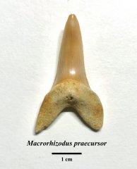Macrorhizodus praecursor