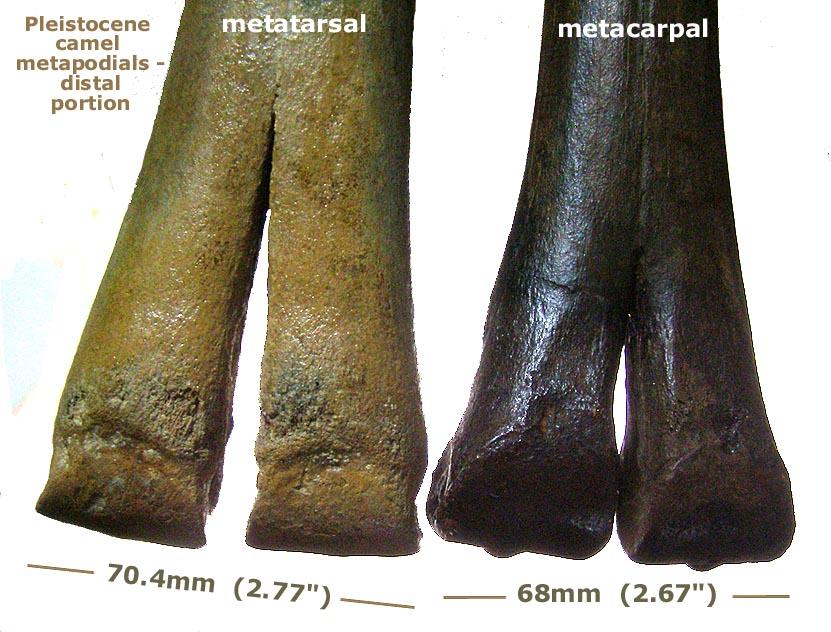 camel_metapodials_distal.JPG