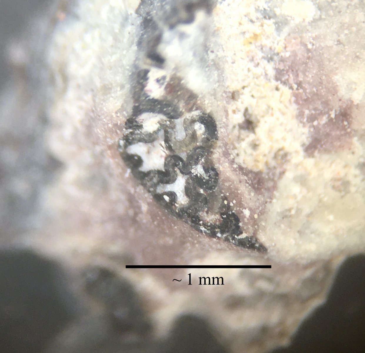 Labyrinthodont tooth structure