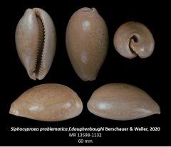 Siphocypraea problematica f. daughenbaughi