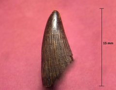 Ichthyosaur tooth, pic 2