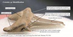 Cretodus tooth identification