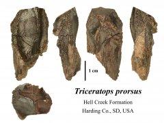 Triceratops prorsus (2)