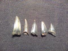 Sphenodus sp. teeth