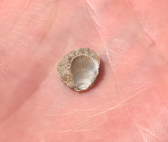 C&D Canal Micro Fossils